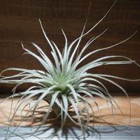 チランジア / テクトルム ピンクッション (T.tectorum 'Pincushion') *A01/Apr10