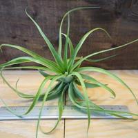 チランジア / ブラキカウロス グリーン (T.brachycaulos 'Green') *A02/J02