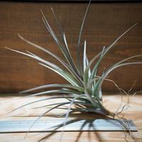 チランジア / アエラントス アルボフローラ (T.aeranthos 'Albo-Flora') *A01/Apr04