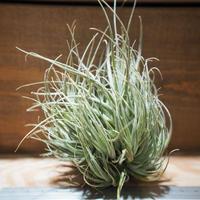 チランジア / エーレルシアナ XL-CL (T.ehlersiana) *A01/Mar20