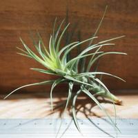 チランジア / テヌイフォリア オープンフォーム (T.tenuifolia 'Open Form') *A01/Apr18