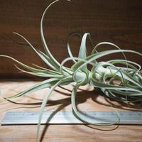 チランジア / ストラミネア トールホワイト (T.straminea 'Tall White') *A01/Mar20