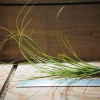 チランジア / フェスツコイデス (T.festucoides) *A01/May08