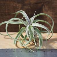 チランジア / ストレプトフィラ Sサイズ (T.streptophylla) *A01/M25
