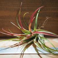 チランジア / ブラキカウロス グリーン 紅葉 (T.brachycaulos 'Green') *A01/Oct13