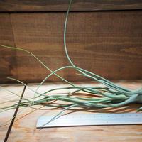 チランジア / ブッツィー × セレリアナ (T.butzii × T.seleriana) *A01/Apr17