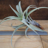 チランジア / ロゼオスカパ Mサイズ (T.roseoscapa) *A01/M25