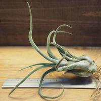 チランジア / カプトメドーサ M (T.caput-medusae) *A02/Ju14