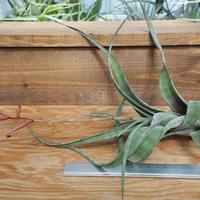 チランジア / フレクスオーサ グランドケイマン (T.flexuosa 'Grand Cayman') *A02/Se22・秋祭