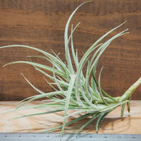 チランジア / マクブリデアナ × パレアセア (T.macbrideana × T.paleacea) *A01/Jun20