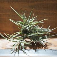 チランジア / バンデンシス (T.bandensis) *A01/Apr03