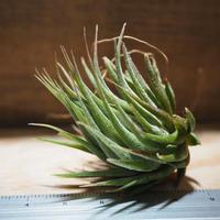 チランジア / イオナンタ ヘーゼルナッツ (T.ionantha 'Hezel Nut') *A01/Apr11-01