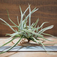 チランジア / クロカータ (T.crocata) *A01/Aug04