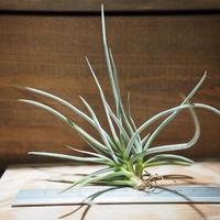 チランジア / カリギノーサ (T.caliginosa) *A01/Jan10