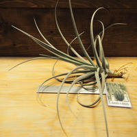 チランジア / デュラティ × ストリクタ (T.duratii × T.stricta) *A02/J26