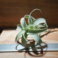 チランジア / ロゼオスカパ カーリー (T.roseoscapa 'Curly') *A01/Jan27