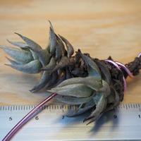 チランジア / レクリナータ 双頭 (T.reclinata) *A02/J03