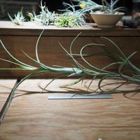 チランジア / インターメディア ヴィヴィパラ (T.intermedia) *A01/Jun05