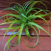 チランジア / ブラキカウロス セレクタ レッド (T.brachycaulos 'Selecta Red')