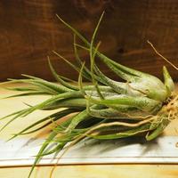 チランジア / プルイノーサ × セレリアナ (T.pruinosa × T.seleriana) *A02/J29
