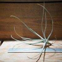 チランジア / トルティリス (T.tortilis) *A01/Nov26