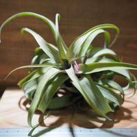 チランジア / ノバキー  × (ブルボーサ × ストレプトフィラ) (T.novakii × (T.bulbosa x T.streptophylla)) *A01/May27
