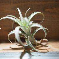 チランジア / ロゼオスカパ カーリー (T.roseoscapa 'Curly') *A01/Jul05