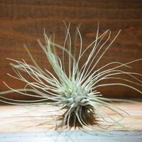 チランジア / フクシー グラシリス (T.fuchsii var. gracilis) *A01/Jun22