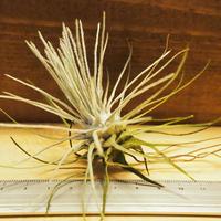 チランジア / プルモーサ (T.plumosa) *A02/J08-02