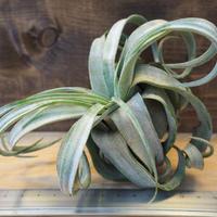 チランジア / ストレプトフィラ L (T.streptophylla) *A02/J23-02