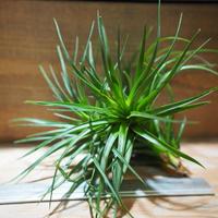 チランジア / ストリクタ グリーン CL (T.stricta 'Green') *A01/May28