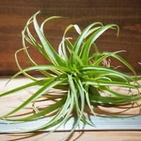 チランジア / ブラキカウロス グリーン (T.brachycaulos 'Green') *A02/Mar08
