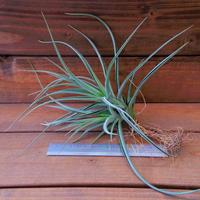 チランジア / ポーリアナ × レクルヴィフォリア (T.pohliana × T.recurvifolia) ※子株多数付き