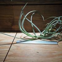 チランジア / デュラティ S (T.duratii) *A01/Feb12