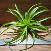 チランジア / ブラキカウロス グリーン L (T.brachycaulos 'Green') *A01/Apr04