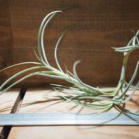 チランジア / クロカータ ジャイアント (T.crocata Giant) *A01/Sep16