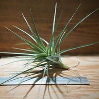 チランジア / アエラントス アルボフローラ (T.aeranthos 'Albo-Flora') *A01/Oct13