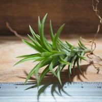 チランジア / ネグレクタ S (T.neglecta) *A02/Feb02
