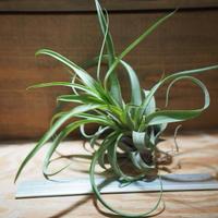 チランジア / ノバキー  × (ブルボーサ × ストレプトフィラ) (T.novakii × (T.bulbosa x T.streptophylla)) *A01/Jul11