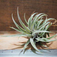 チランジア / スークレイ (T.sucrei) *A01/Mar15-01
