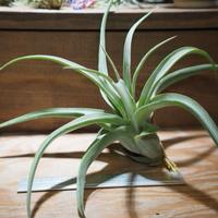 チランジア / ストレプトフィラ L (T.streptophylla) *A01/Jun22-02