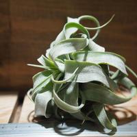 チランジア / ストレプトフィラ L (T.streptophylla) *A01/Sep16-02