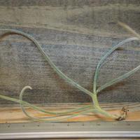 チランジア / クロカータ カッパーペニー (T.crocata 'Copper Penny') *A01/Dec18