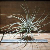 チランジア / プルモーサ (T.plumosa) *A01/May31-01