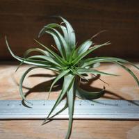 チランジア / ブラキカウロス グリーン (T.brachycaulos 'Green') *A01/Oct13