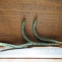 チランジア / ブリオイデス (T.bryoides) ★タイ農場 *A01/Apr17-02