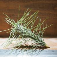 チランジア / フンキアナ レクルヴィフォリア (T.funkiana var. recurvifolia) ★タイ農場 *A01/Nov30