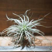 チランジア / テクトルム ピンクッション (T.tectorum 'Pincushion') *A01/Nov26