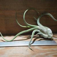 チランジア / カプトメドーサ M (T.caput-medusae) *A01/Sep01