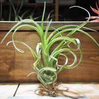 チランジア / カプトメドーサ × ブラキカウロス (T.caput-medusae × T.brachycaulos) *A01/Apr10